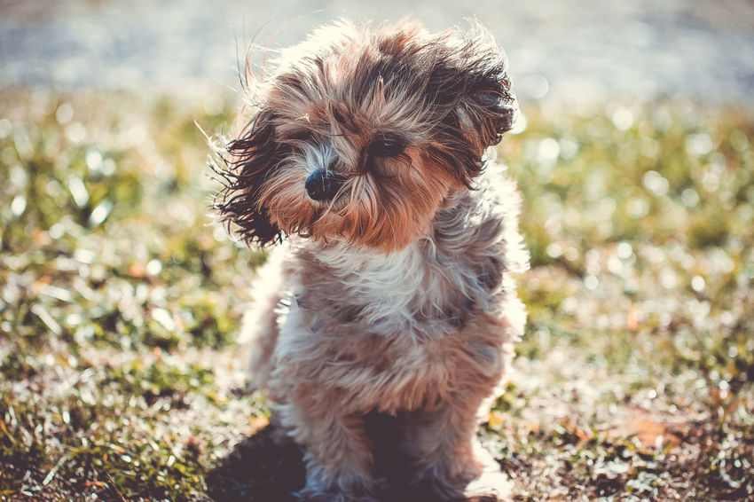 blowing in the wind One Animal Domestic Pets Domestic Animals Animal Themes Canine Dog Animal Mammal Lap Dog No People Day Focus On Foreground Nature Animal Hair Vertebrate Small Sunlight Field Cute Shih Tzu