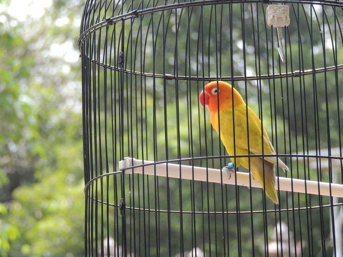 Sun conure in bird cage