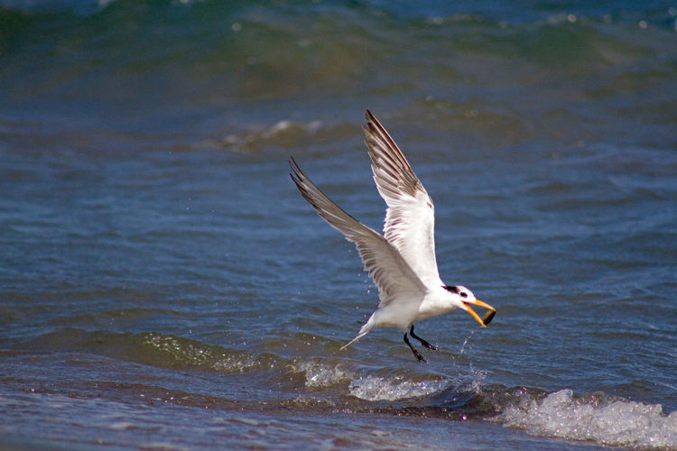 Elegant tern skimming wave with pebble in beak