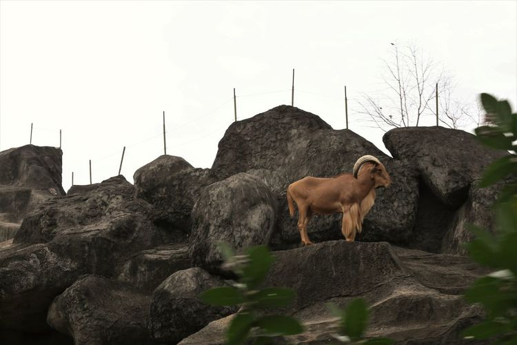 View of a sheep on rock