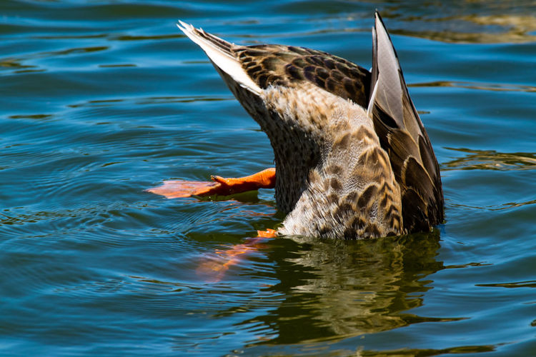 Duck foraging on lake