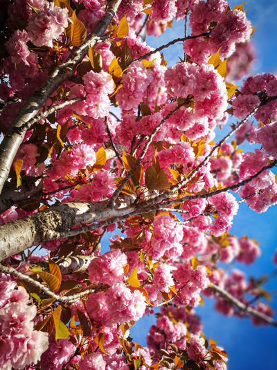 Low angle view of pink cherry tree