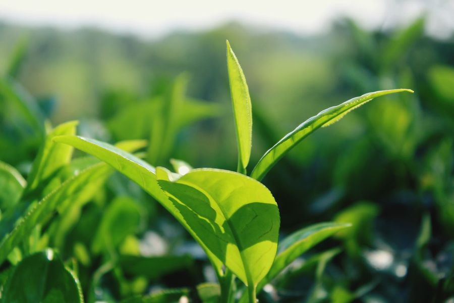 Green Color Leaf Close-up Growth Nature Agriculture No People Plant Focus On Foreground Freshness Outdoors Day Beauty In Nature Food Tree Tree Stump Tea Tea Cup Tea - Hot Drink Tea Light Tea Tree Lake