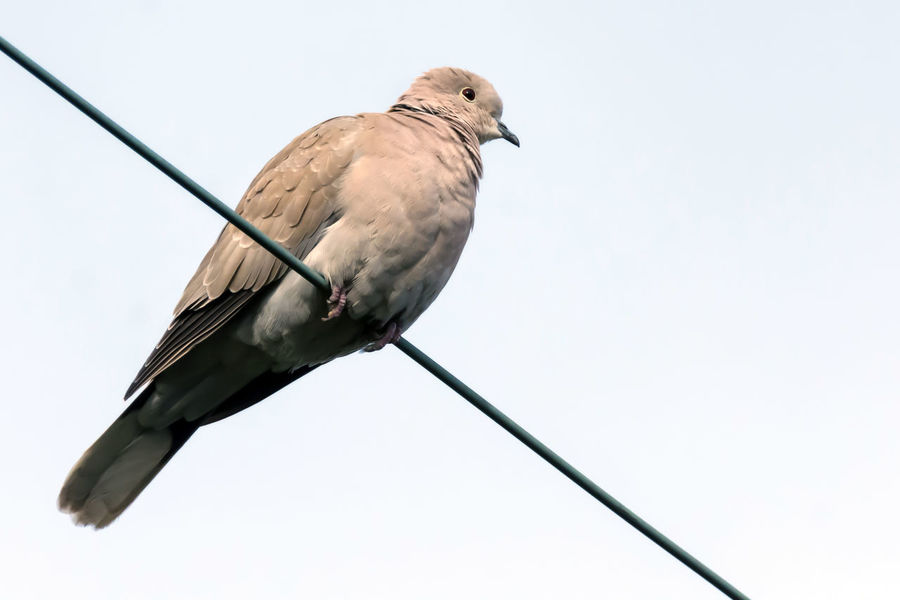 Mourning Dove on Telephone Wire Animal Themes Animals In The Wild Beauty In Nature Bird Bird Photography Bird Watching Birds Of EyeEm  Birds_collection Birdwatching Curious Day Dove Feathers Looking At Camera Mourning Dove Mourning Doves No People Outdoors Pattern Perched Perching Pink Color Softness Telephone Wire View From Below