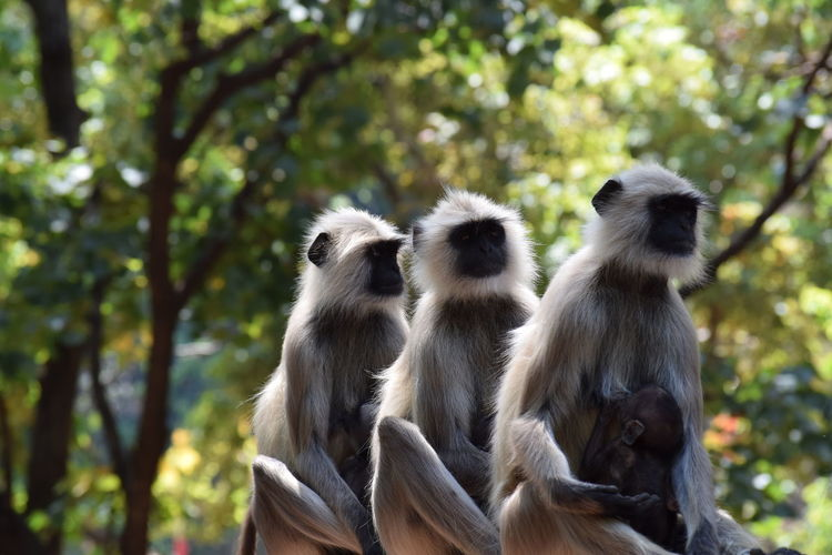 Gray langurs in forest