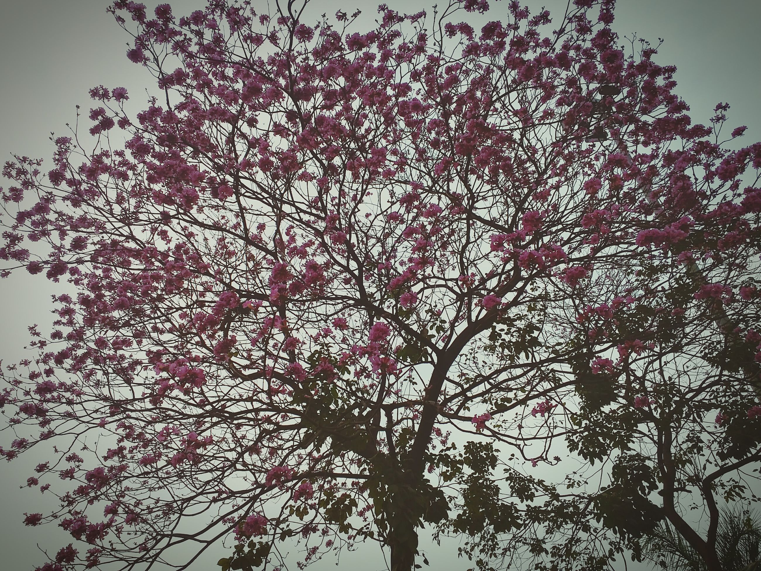 low angle view, tree, branch, growth, flower, nature, beauty in nature, sky, clear sky, pink color, freshness, outdoors, no people, silhouette, fragility, day, high section, tranquility, blossom, leaf