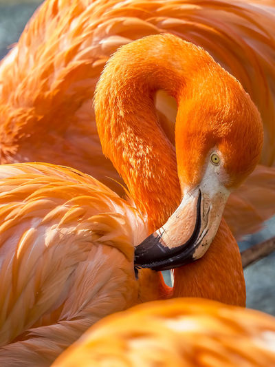 close up of a pink flamingo Animal Themes Animal Wildlife Animals In The Wild Beauty In Nature Bird Close-up Day Flamingo Nature No People Orange Color Outdoors