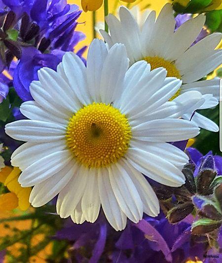 Magaritte Blume
