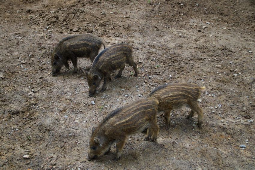 Wildschwein Frischlinge Animal Themes Animal Animal Wildlife Group Of Animals High Angle View Animals In The Wild Mammal Land No People Wild Boar Nature Vertebrate Pig Day Field Outdoors Zoology Young Animal Domestic Animals Standing