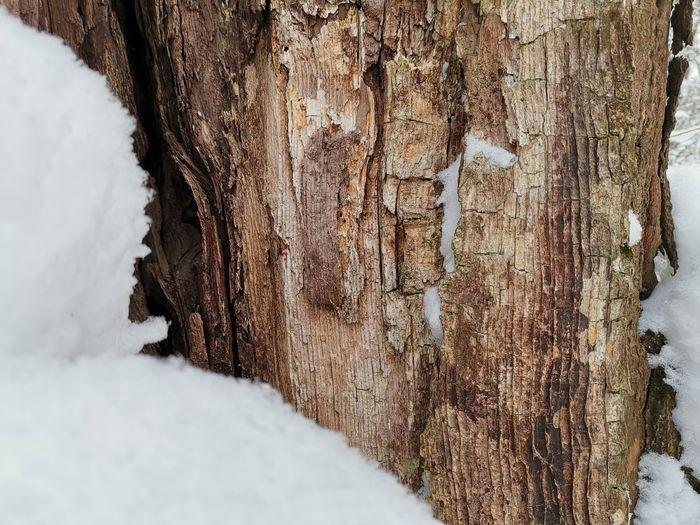 Tree Trunk Tree Tree Bark Beautiful Bark Snow Cold Temperature Winter Close-up Rugged Rocky Coastline Rough Textured  Bark