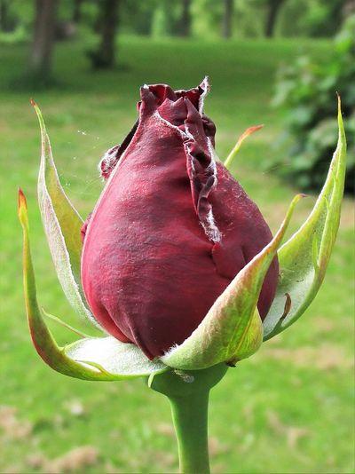 Rosebud Botany