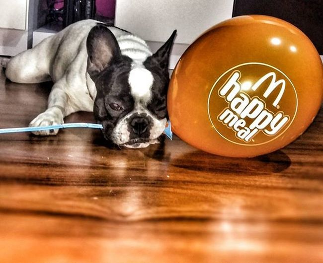 I wish happiness were that simple | Ojala ser feliz fuera tan simple Frenchbulldog Dogs McDonald SPAIN Animals