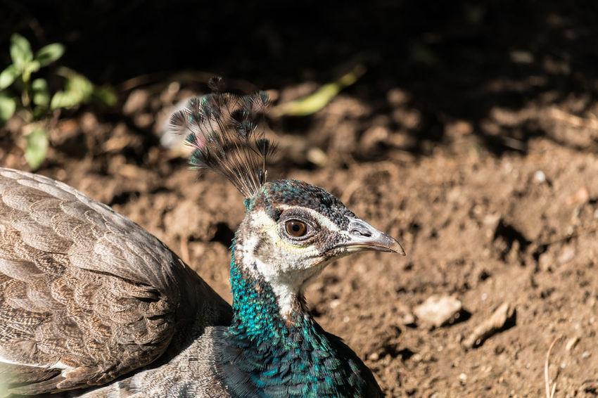 Animal Themes Animals Bird Bird Photography Birds Of EyeEm  Birds_collection Birdwatching Eye4photography  EyeEm Best Shots EyeEmBestPics Picock