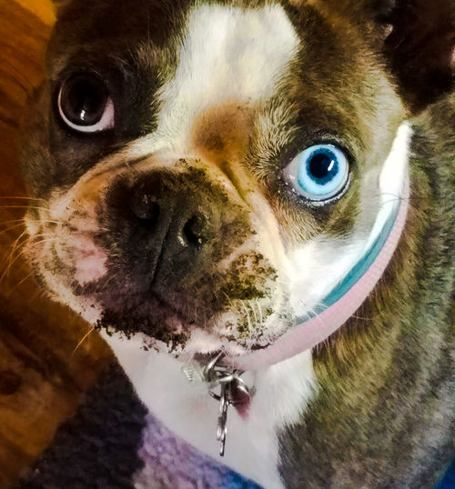 Pets Dog Animal Themes Domestic Animals One Animal Mammal Indoors  Looking At Camera Close-up Portrait No People Boston Terrier Dirty Dog Dogs Of EyeEm Dogs Dog Portrait Dog Photo Doglover Blue Eyed Dog Angel Eye
