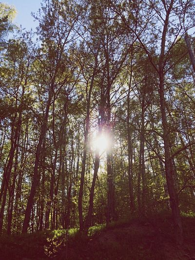 Sunbeam Lens Flare Sunlight Sun Tree Nature Forest Beauty In Nature Outdoors Scenics WoodLand Tranquility Day No People Tranquil Scene Tree Trunk Low Angle View Sky