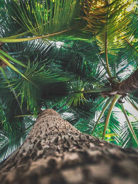 Coconut Tree Plant Nature Sunlight Day Growth Green Color Land Beauty In Nature Tropical Climate Outdoors Shadow Low Angle View Sand Branch Beach Leaf No People Palm Tree Tranquility