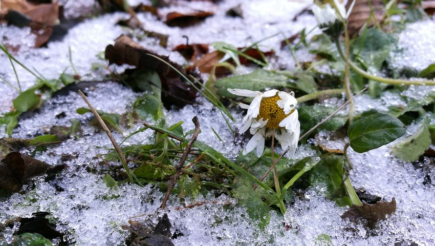 Daisy One Animal Nature High Angle View No People Day Outdoors Winter Snow Close-up Shades Of Winter Cold Temperature Leaf Beauty In Nature Plant Fragility