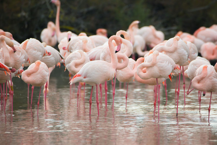 Flamingos in the camarque in southern france, wildlife provence