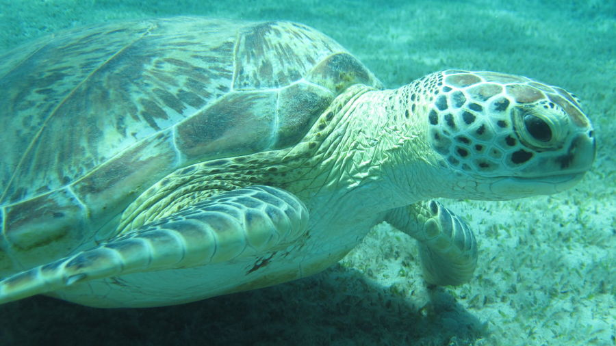 Close-Up Of Green Turtle Swimming Undersea
