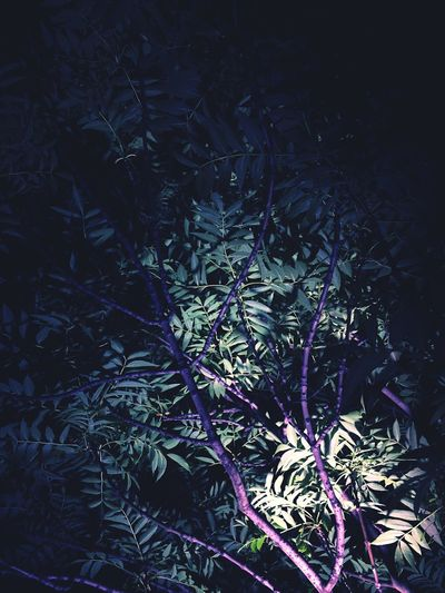 No People Night Branch Outdoors Tree Plant Leaf Nature Growth Close-up Dreamy Dreaming Summer Night Warm Summer Pinkish Pink Dark Green Leaves Vegetal Organic Berlin