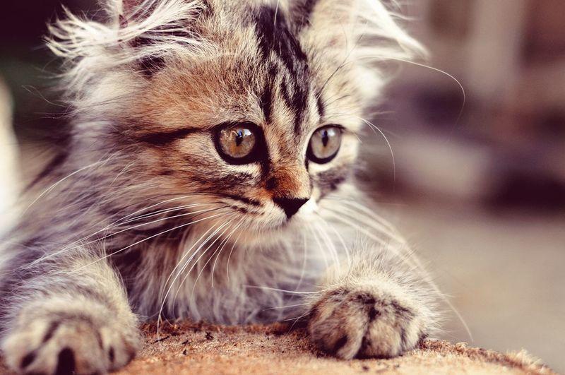Animal Themes Cat Lovers Cats Of EyeEm Cats 🐱 Kitten 🐱 Cute Pets Cute Pets Portrait Feline Domestic Cat Whisker Looking At Camera Close-up Kitten Persian Cat  Tabby Cat Cat Animal Eye Animal Hair