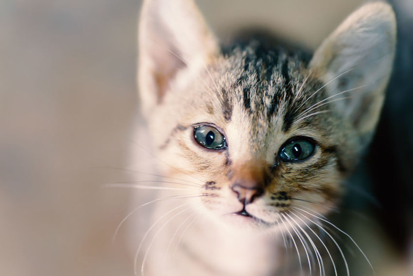 Cute Cat Cute Pets Kitty Thai Cat Animal Themes Cat Cat Eyes Close-up Day Domestic Animals Domestic Cat Feline Indoors  Kitten Looking At Camera Mammal No People One Animal Pet Pets Portrait Whisker