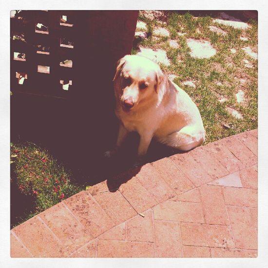Animalier Labrador