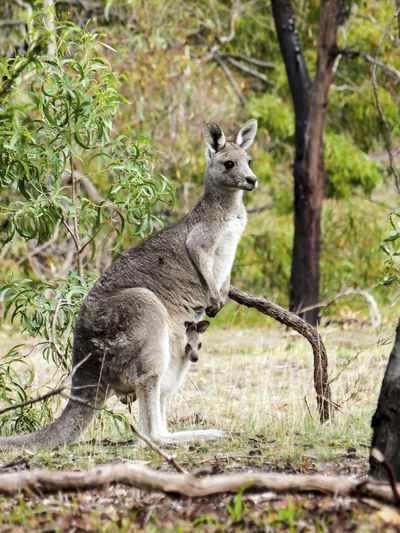 It was taken at Woodlands Historical Park in Victoria, Australia. Joey Woodlands Hitorical Park Animal Wildlife Animals In The Wild Day Forest Grey Eastern Kangaroo Kangaroo Mammal Nature Outdoors Pouch