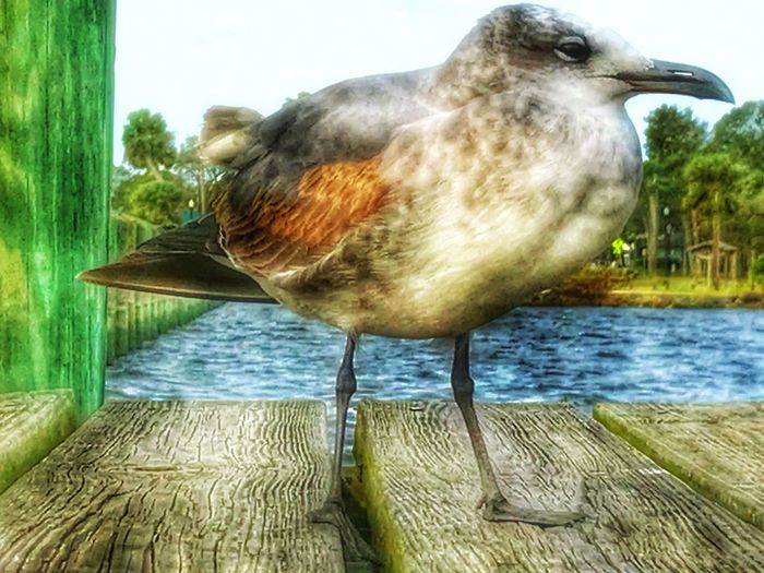 Seagull On The Pier Animal Themes Bird One Animal Animals In The Wild Day No People Outdoors Water Animal Wildlife Nature Beak Close-up Indian River Lagoon Adapted To The City