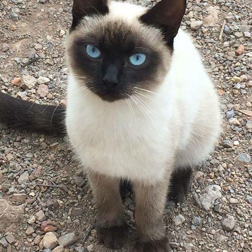 Alertness Animal Themes Blue Eyes Cat Cute Feline Looking At Camera Mammal Sitting Whisker Nofilter