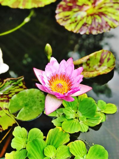 #lotus #guangzhou#lianhuashan Plant Flowering Plant Growth Flower Head Inflorescence