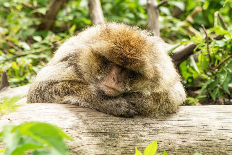 Close-up of gorilla sitting on tree