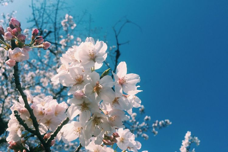 Flower Blossom Springtime Tree Beauty In Nature Nature Fragility Day No People Branch Low Angle View Blue Clear Sky Growth Outdoors Sky Flower Head Freshness Close-up