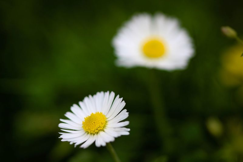 Floral Beauty Flowering Plant Flower Freshness Petal Vulnerability  Plant Yellow Flower Head Fragility Beauty In Nature Inflorescence Daisy Growth Close-up White Color Pollen Focus On Foreground Nature Day No People