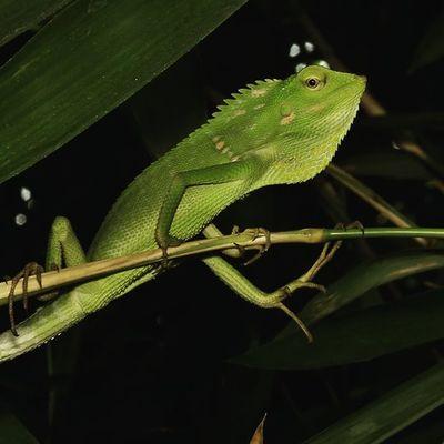 Chameleon. Green_green Green Chameleon Londok bunglon fauna animals