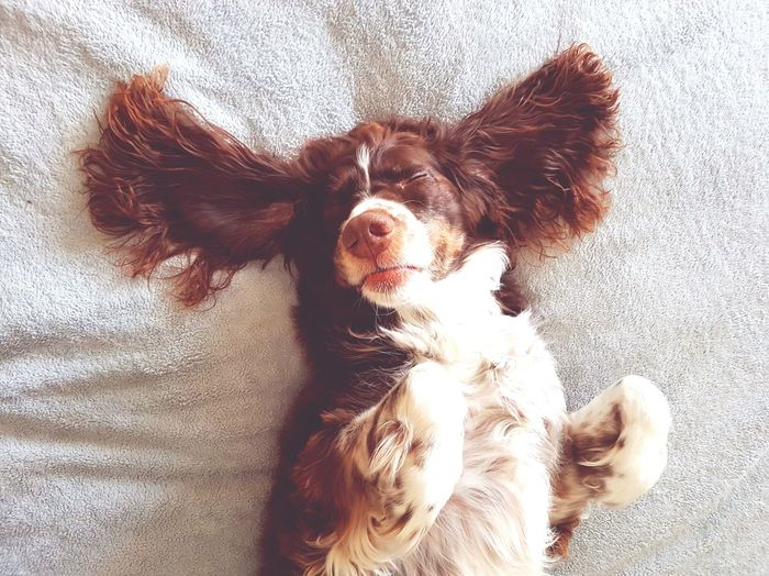 Sleeping dog. Domestic Animals Indoors  No People Pets Close-up Dog Spaniel Sleeping Bed Ears Upside Down Cute