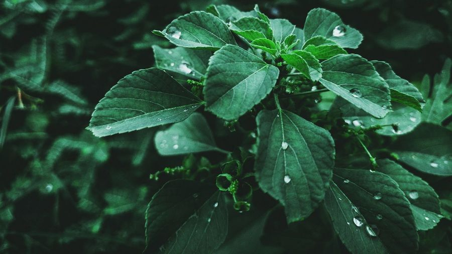 Summer Herb Environment Freshness Garden Rain RainDrop Bokeh Asthetic Dark Closeup Drop Outdoors Vein Flora Nature Ecology Bright Food Growth Flower Leaf Close-up Plant Green Color Leaf Vein Flowering Plant Pollination Botanical Garden Plant Part Leaves