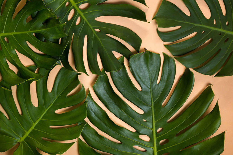 Green Color Plant Plant Part Abstract Art Background Background Texture Backgrounds Beauty In Nature Beige Background Close-up Day Fragility Freshness Full Frame Green Color Jungle Leaf Leaf Vein Monstera Nature No People Pastel Colors Plant Vintage Photo