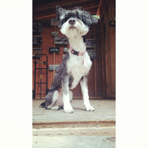my dog feels like the queen after a cut Chinesecrestedpowderpuff Chinesecrested Dog Groomer Pets Dog