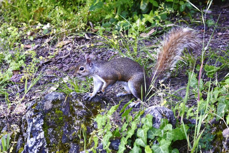 One Animal Reptile Animal Themes Animals In The Wild Animal Wildlife Outdoors Nature No People Mammal Day Grass Squirrel Squirrel Closeup Squirrel Photo Squirrel Eating Rock - Object Animals In The Wild Tree Close-up Wildlife Nature Pet Portraits
