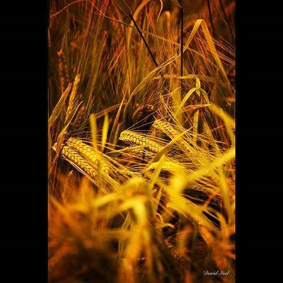 Barley. ISO 320 f5.6 1/1000 sec Igbest_shotz Igsuper_shots Igmastershots Ig_shutterbugs Nature_sultans Naturelover_gr Loves_Scotland Bnwscotland Nsta_scotland Bnwscotland Master_shots Nature_wizards Princely_shotz Loves_nature Landscape_captures Ig_scot Ig_bliss Igerscots Natures_best_shots
