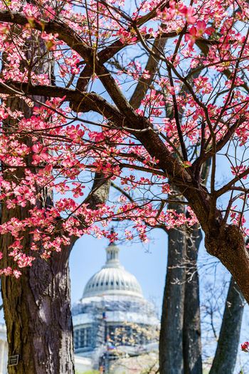 Blossom Capital Cities  Capitol Hill Cherry Tree Democracy Spring Demonstration Fight Flower International Landmark Nature One Person One Vote Outdoors Park Peace Pink Color Protest Showcase April Spring Tree Tree Trunk Washington, D. C. Washington Showing Imperfection