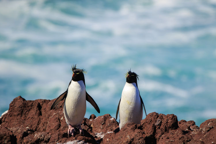 Couple of pinguiños of tuft yellow or rockhopper in the pinguino island that is in patagonia argentina Bird Animal Themes Animal Animals In The Wild Animal Wildlife Group Of Animals Vertebrate Two Animals No People Penguin Sea Rock Rockhopper FUNNY ANIMALS Cute Animals Wildlife Argentina Patagonia South America Nature Rock - Object Water Land Day Focus On Foreground Solid Outdoors