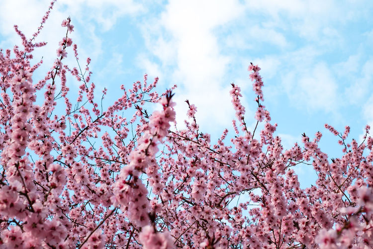 Pink Flowers Blooming Peach Tree at Spring Pink Flowers Blooming Peach Tree At Spring Sky Plant Low Angle View Flowering Plant Pink Color Growth Flower Blossom Beauty In Nature Tree Fragility Nature Springtime Cloud - Sky Day Branch Vulnerability  Freshness Cherry Blossom Fruit Tree No People Outdoors Plum Blossom Cherry Tree Spring