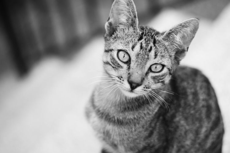 © www.rodiphotography.com Blackandwhite Black And White Black & White Blackandwhite Photography Cat Cats Cat♡ Cat Lovers Love Tabby Cat Stray Animal Maine Coon Cat Yellow Eyes HEAD Animal Eye Cat Whisker