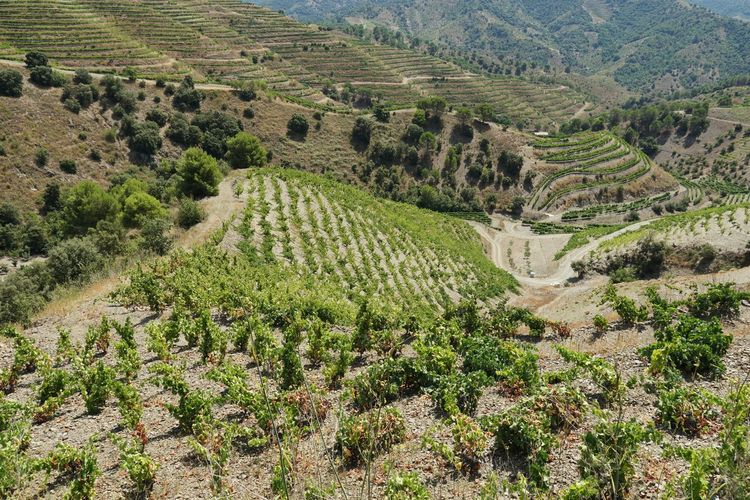 vineyards of Priorat First Eyeem Photo Eye4photography  Nature Nature_collection Catalonia Is Not Spain Catalunya Catalonia Vineyard Wine Summerscape Agriculture Field High Angle View Landscape Agricultural Field Cultivated Land Terraced Field