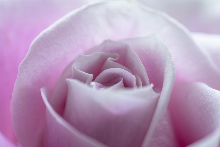 a rose Flower Pink Color Flowering Plant Beauty In Nature Close-up Plant Petal Freshness Vulnerability  Fragility Inflorescence Rosé Nature Flower Head Rose - Flower Selective Focus Softness Springtime Soft Focus Purple Extreme Close-up Full Frame