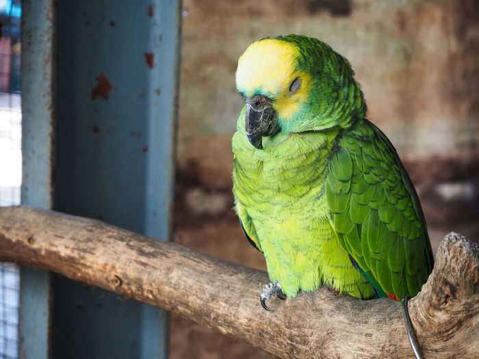 Animal Themes Animal Wildlife Animals In The Wild Beauty In Nature Bird Close-up Day Focus On Foreground Gold And Blue Macaw Green Color Macaw Nature No People One Animal Outdoors Parrot Perching