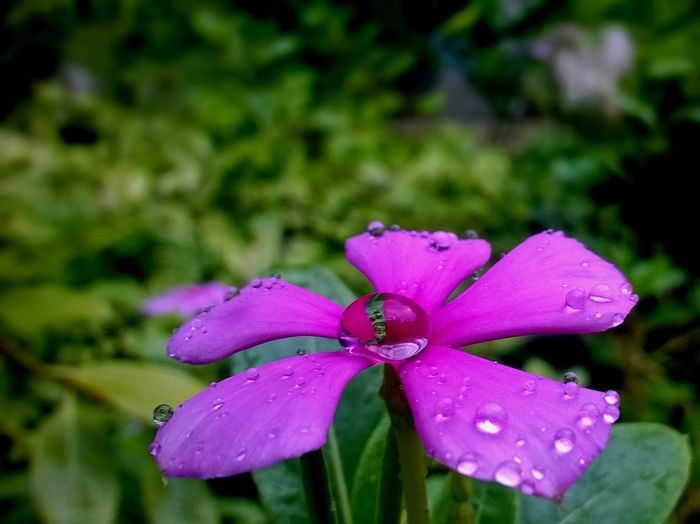 flowers covered in dew Dew Drop Flower Growth Nature Pink Color Plant Purple Rain Water Wet