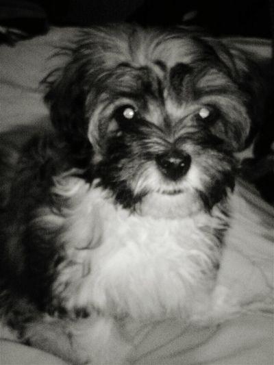 My puppy is cuter than yours!! Havatzulove Haveneselove Princessliliana Royalty